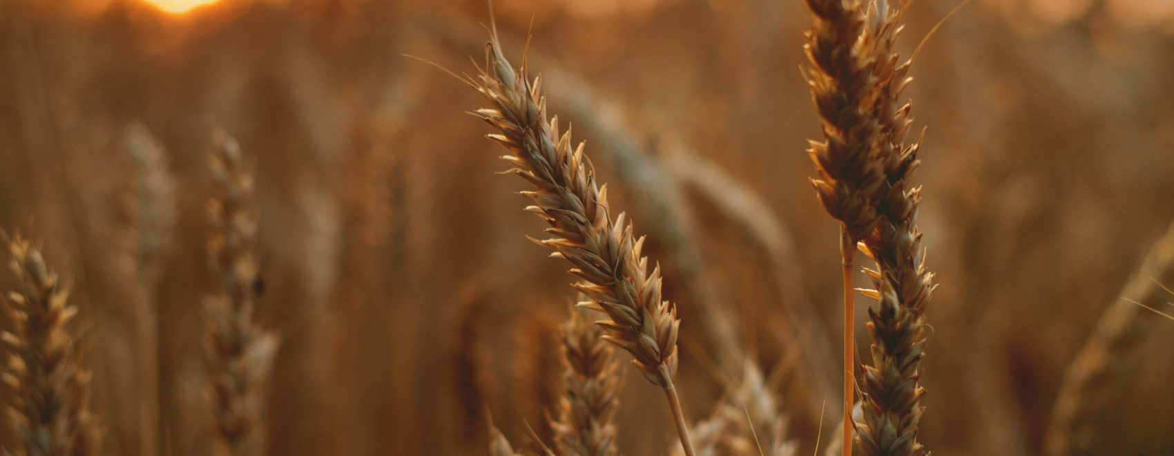 Wheat crop closeup